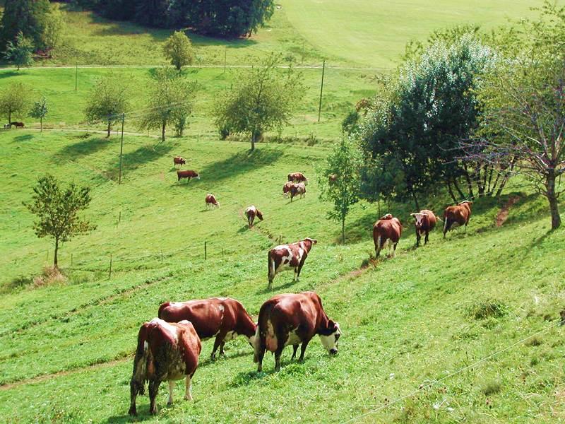 Rinder auf der Weide beim Lippenhof