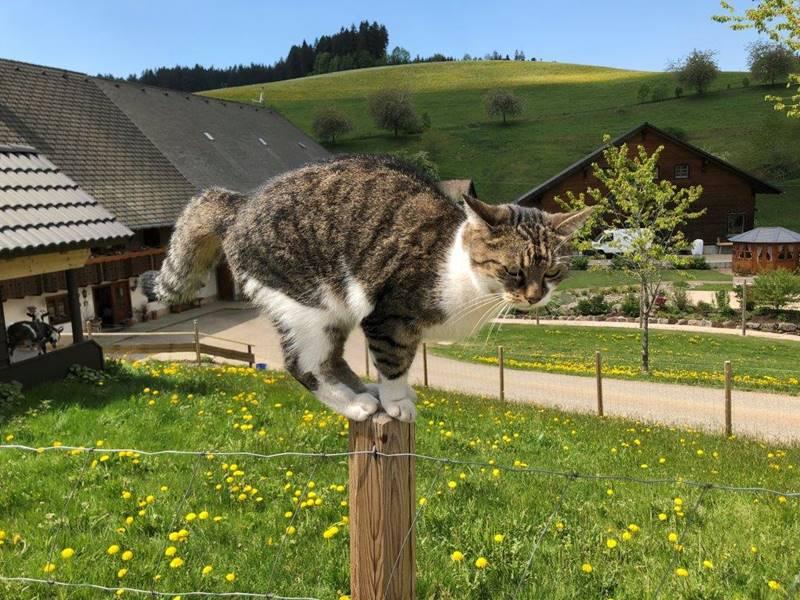 lippenhof-schwarzwald-katze